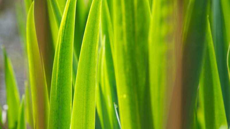 grüne Halme